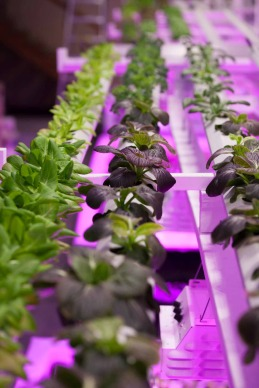 Le luci a led migliorano la coltivazioni in ambienti chiusi